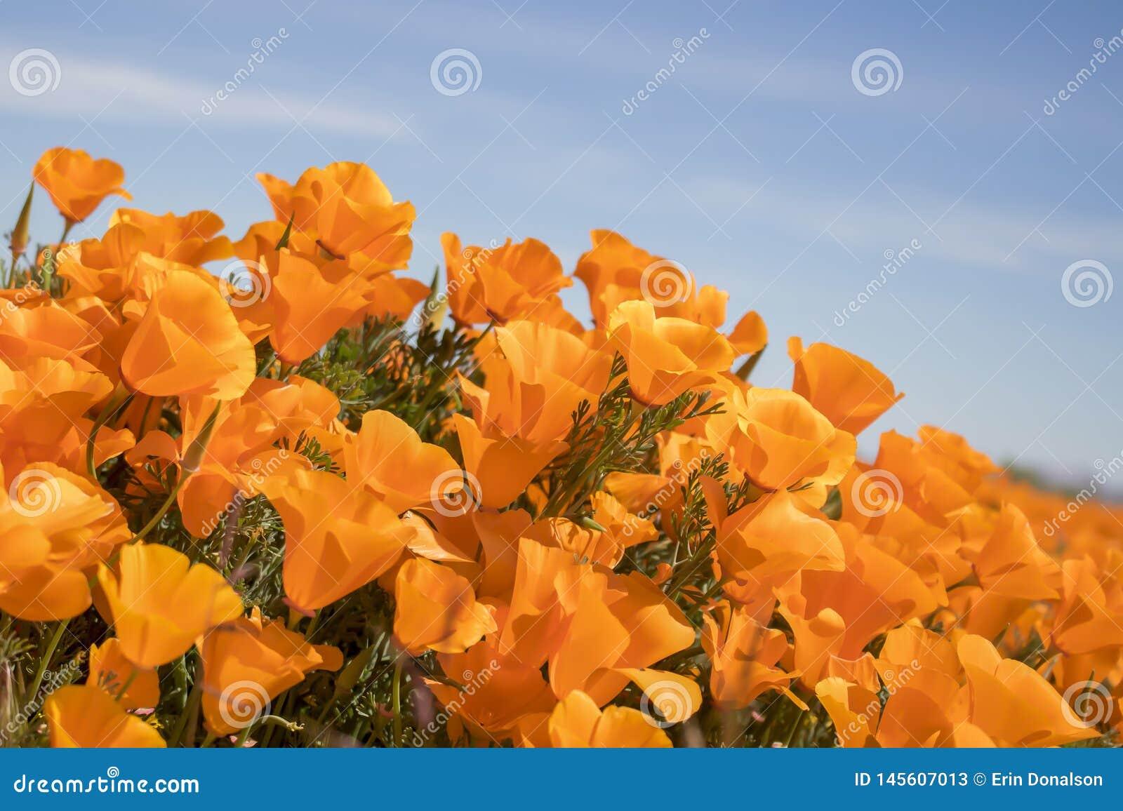 De trillende oranje Hoek van Californië Poppy Flowers Close Up Side