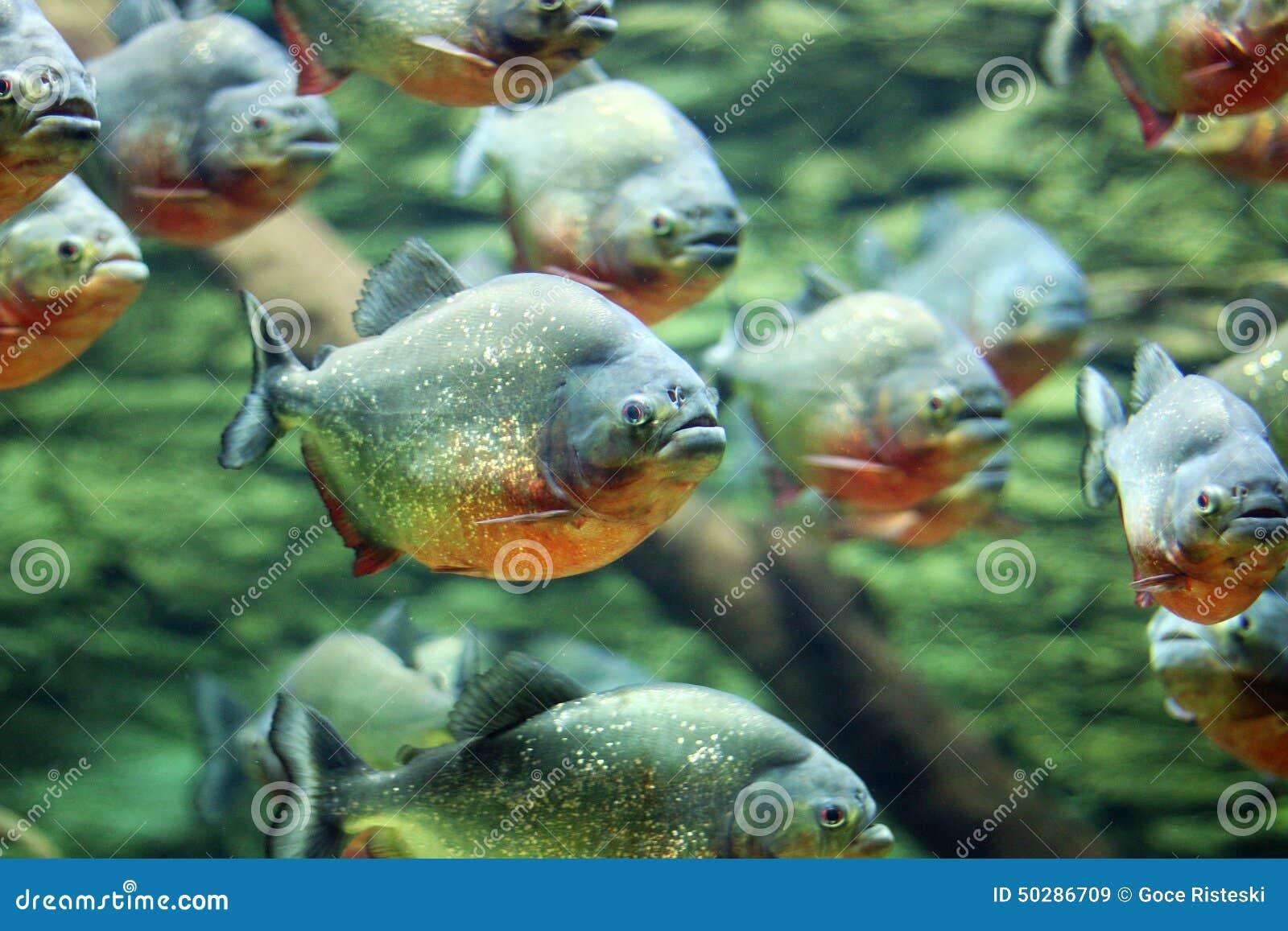 De troep van piranha s zwemt