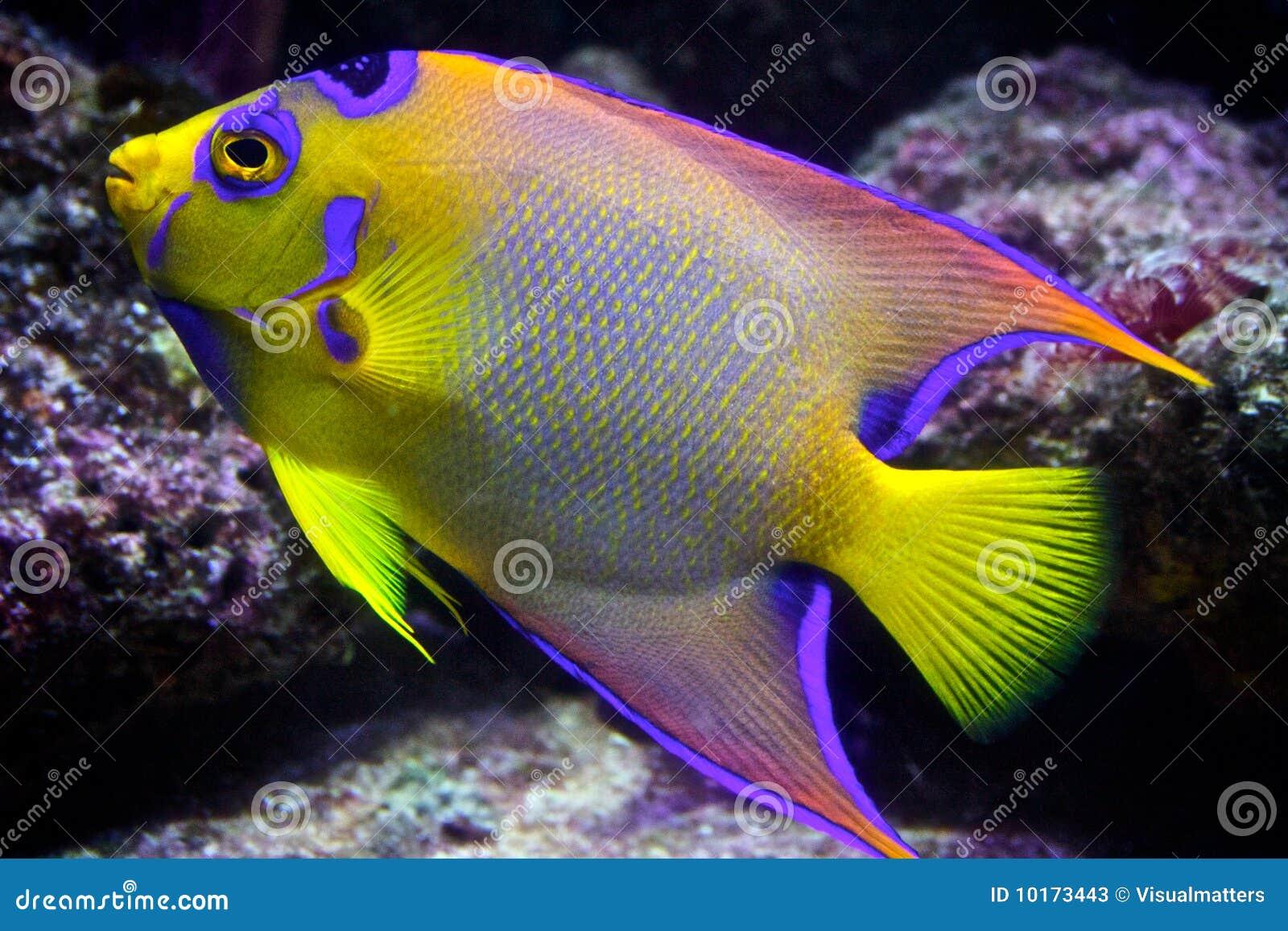 De Tropische Vissen Van De Ertsader Stock Foto u0026#39;s   Afbeelding  10173443