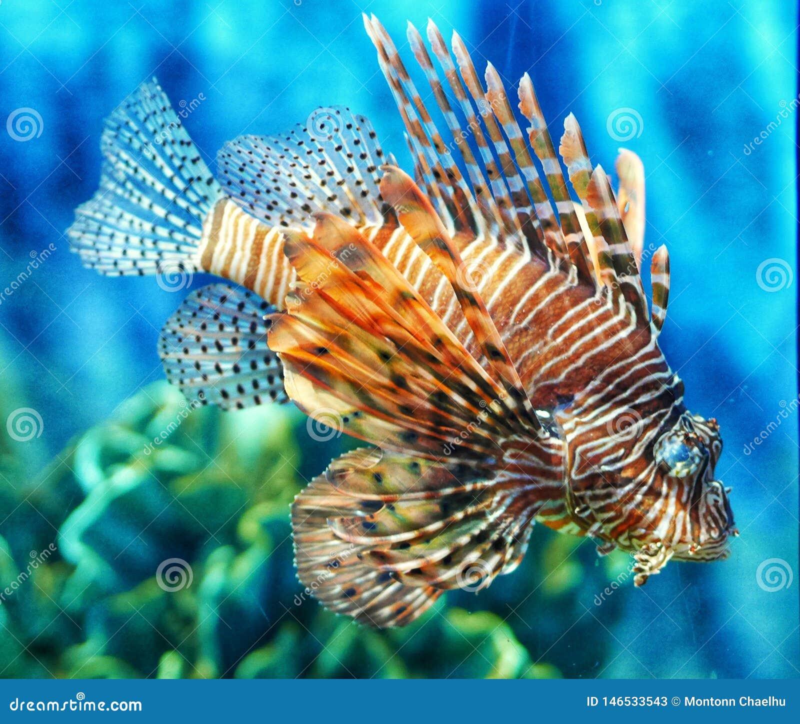 De tropische vissen van de vissenleeuw in aquarium