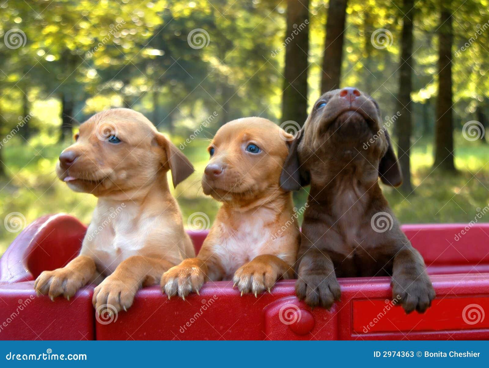De Trots van het puppy