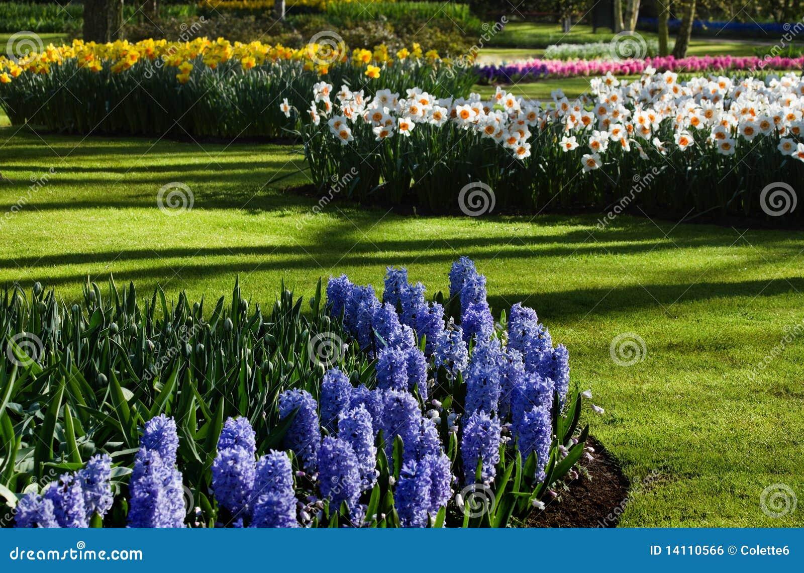 De Tuin Van De Lente Met Hyacinten En Gele Narcissen Royalty vrije Stock Afbeelding   Afbeelding