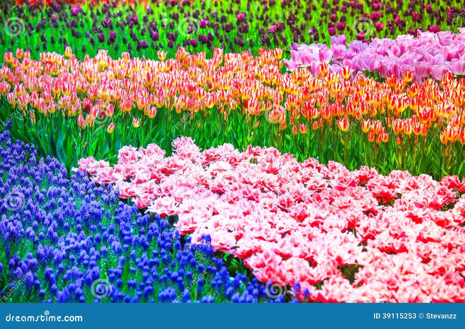 De tuinachtergrond of patroon van tulpenbloemen