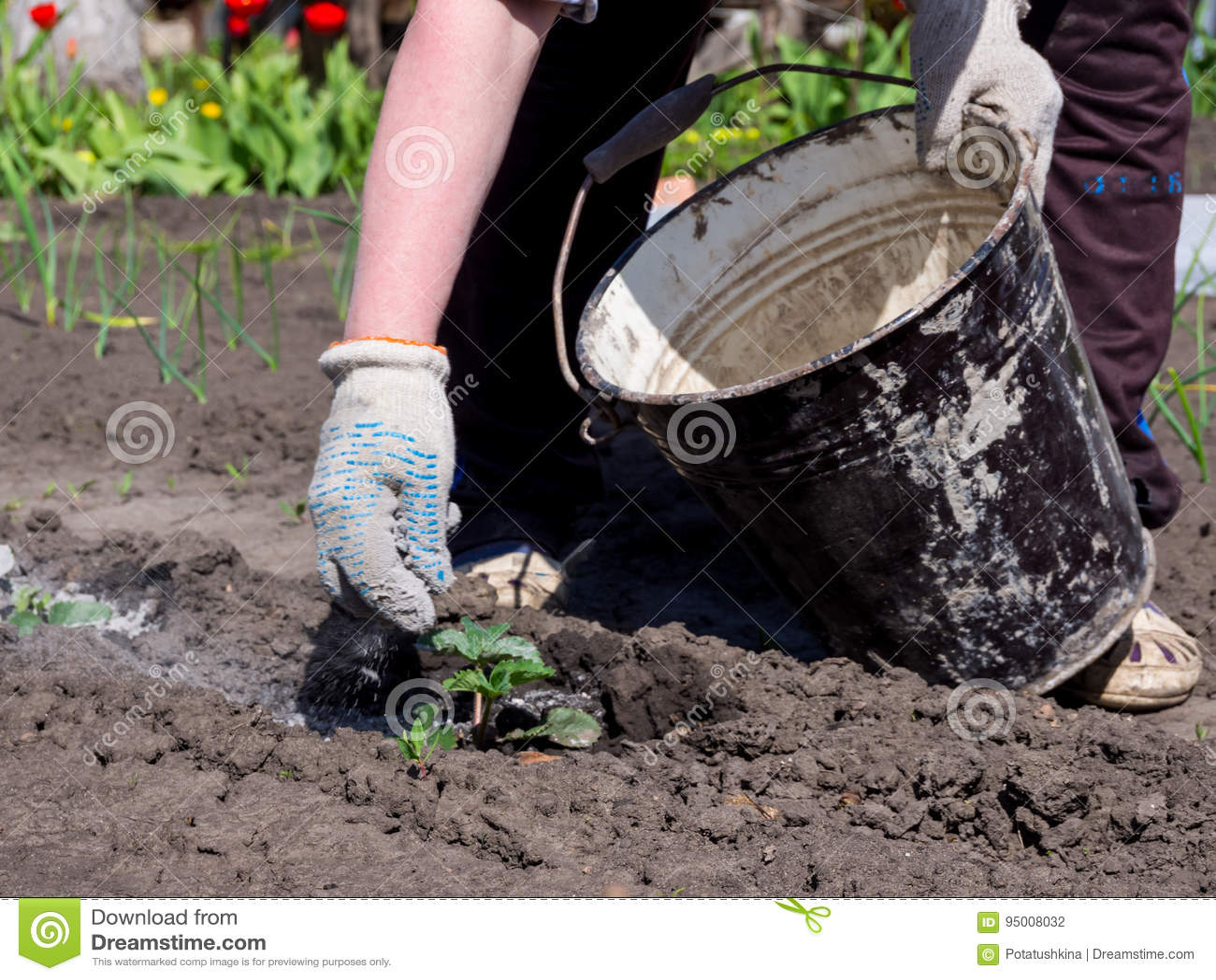De tuinman werpt op de installatiespruiten van houten as van een emmer