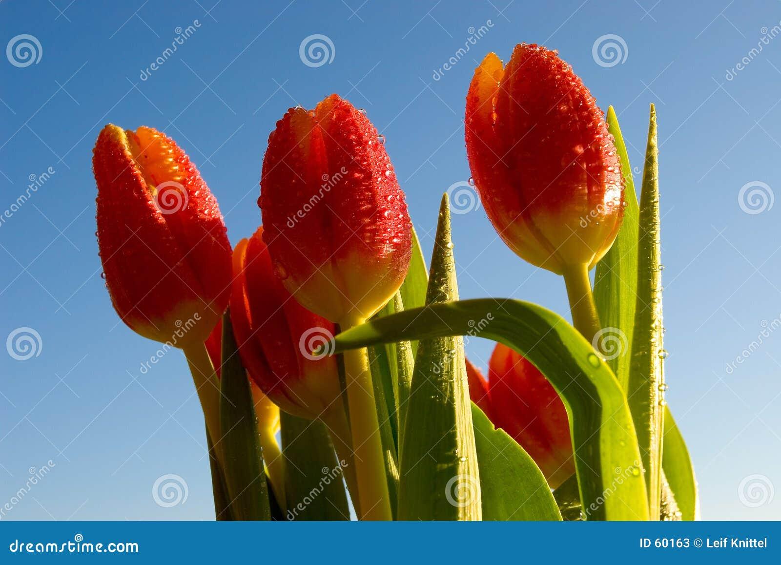 De tulpen van de lente