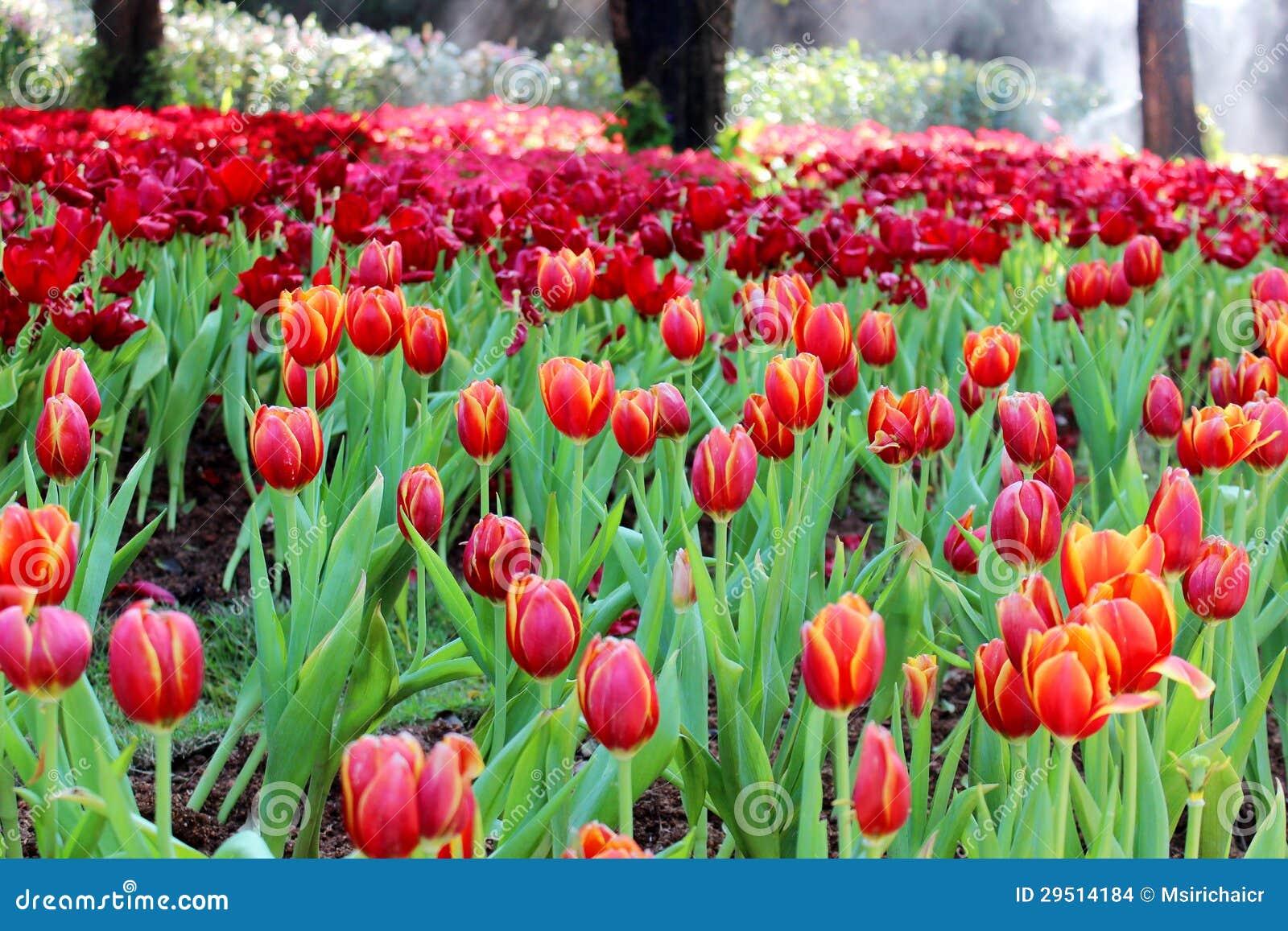 De tulpen van de tuin.