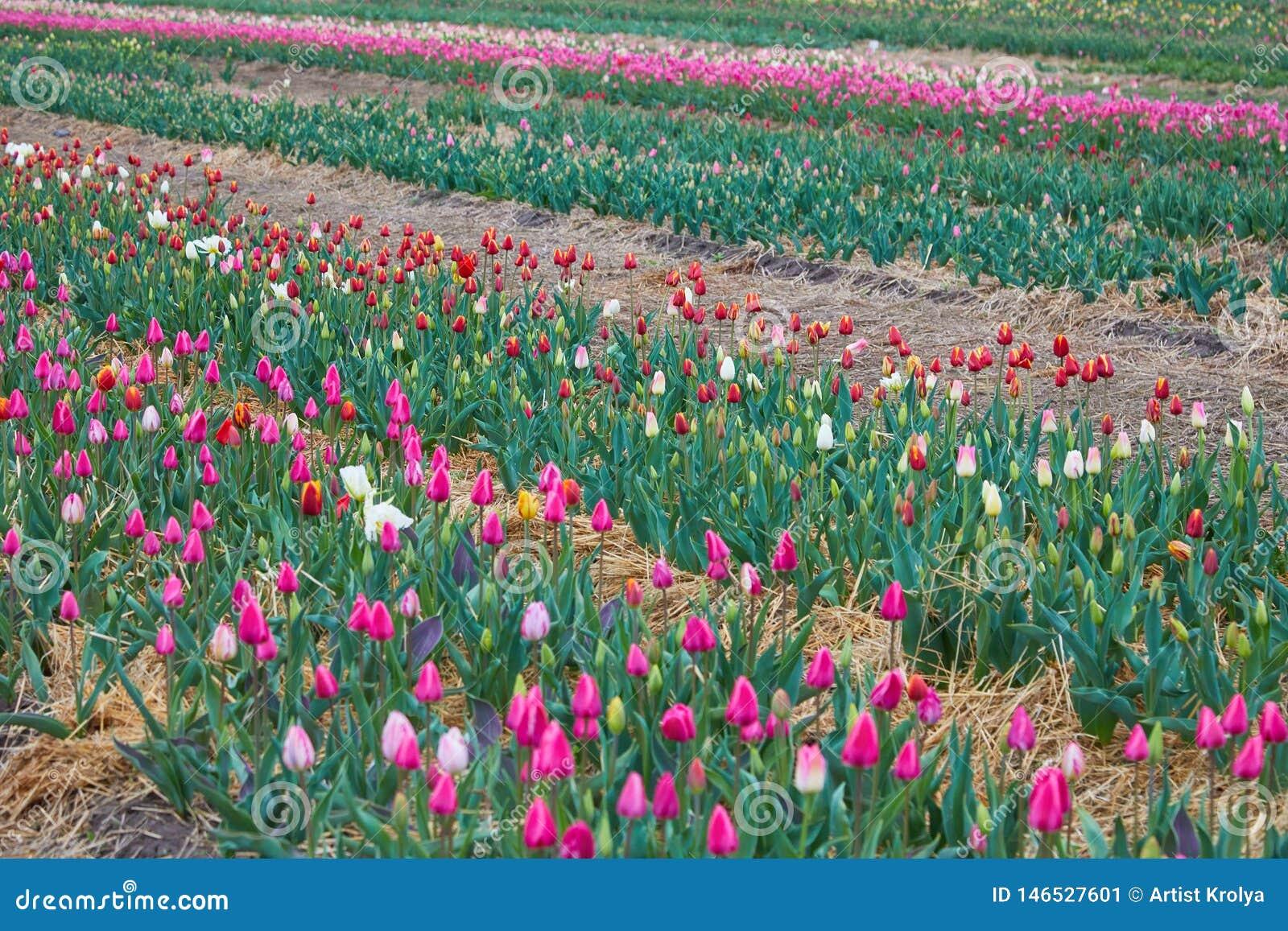 De tulpenbloei van Holland in een oranjerie in lentetijd