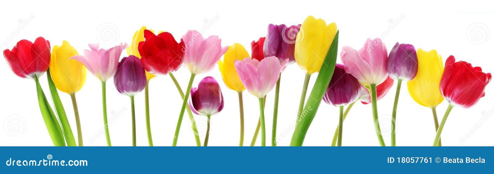 De tulpenbloemen van de lente in een rij