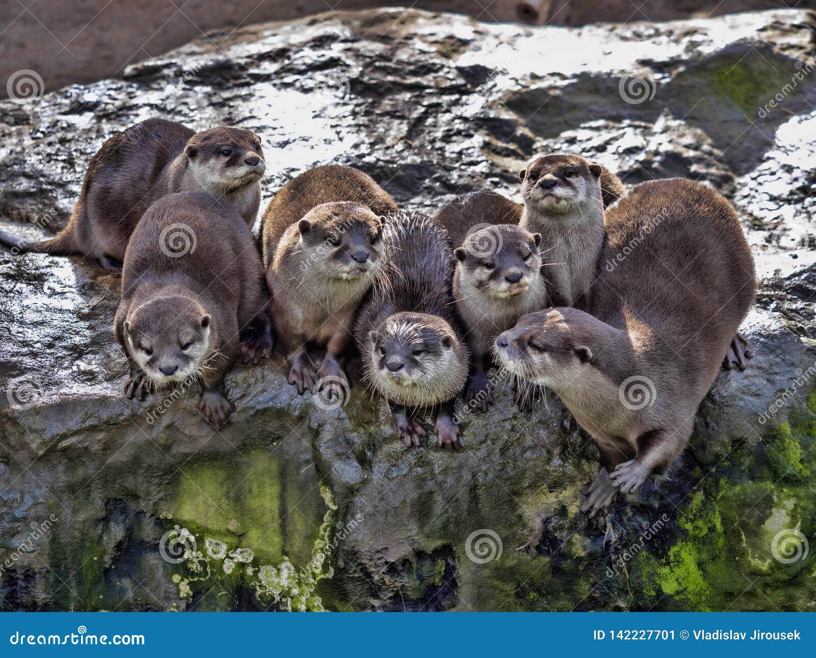 De twistzieke familie, Oosterse klein-gekrabde otter, cinerea Amblonyx, is zeer lawaaierig