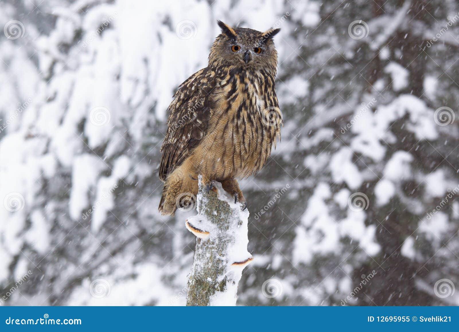 De uil /Bubo Bubo/van de adelaar