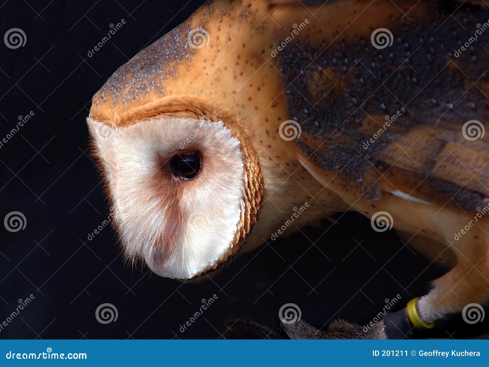 De Uil van de schuur