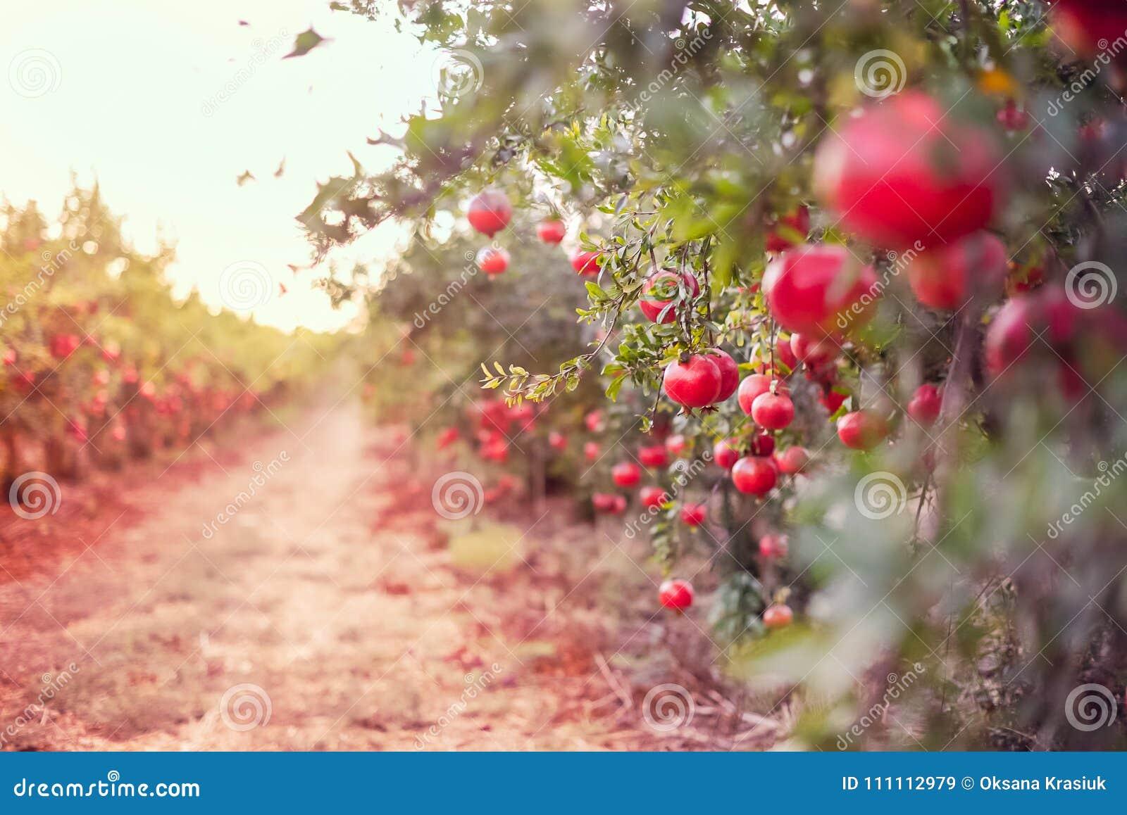 De vage steeg in de tuin met rijpe granaatappelvruchten die op een boom hangen vertakt zich Het concept van de oogst De herfst ve