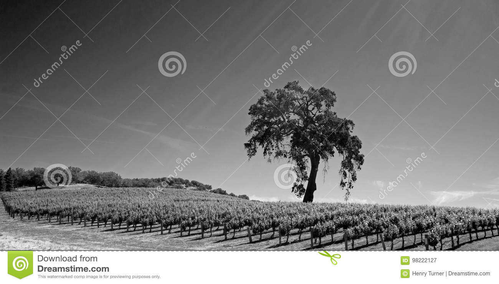 De Vallei Eiken Boom van Californië in wijngaard in de wijnland van Paso Robles in Centraal de zwart-wit Californië V.S. -