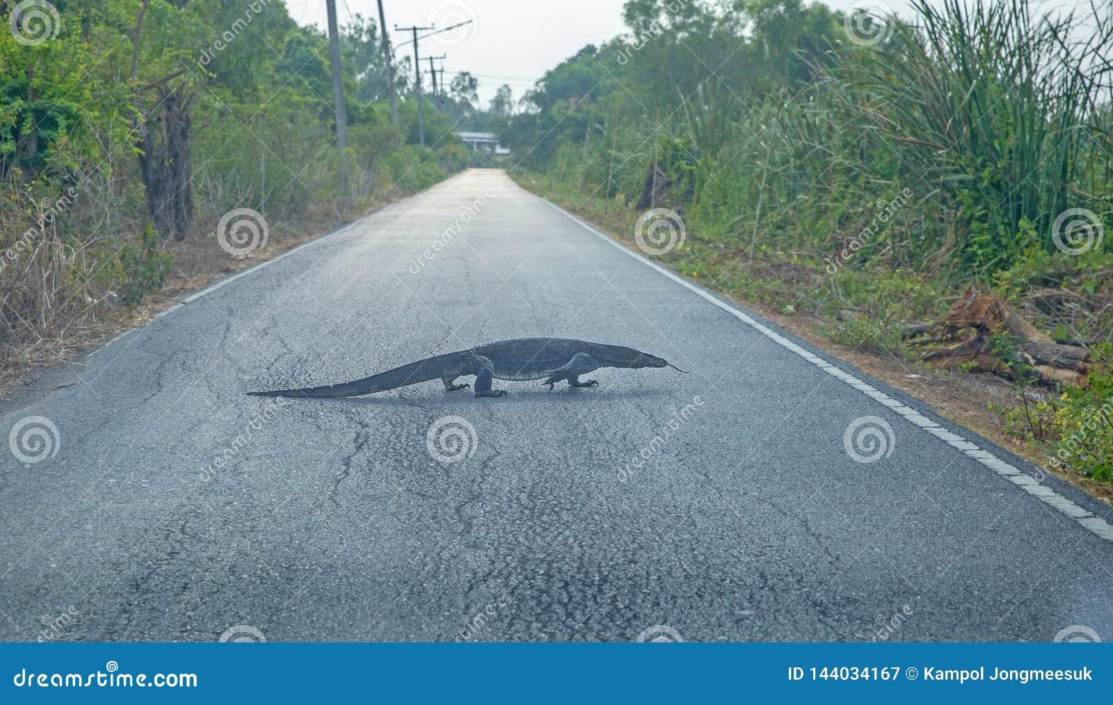 De Varanus rampement lentement sur la route, foyer sélectif
