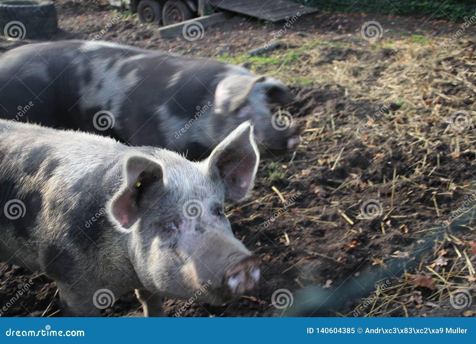 De varkens bevinden zich op modderland op een landbouwbedrijf in Oldebroek in Nederland