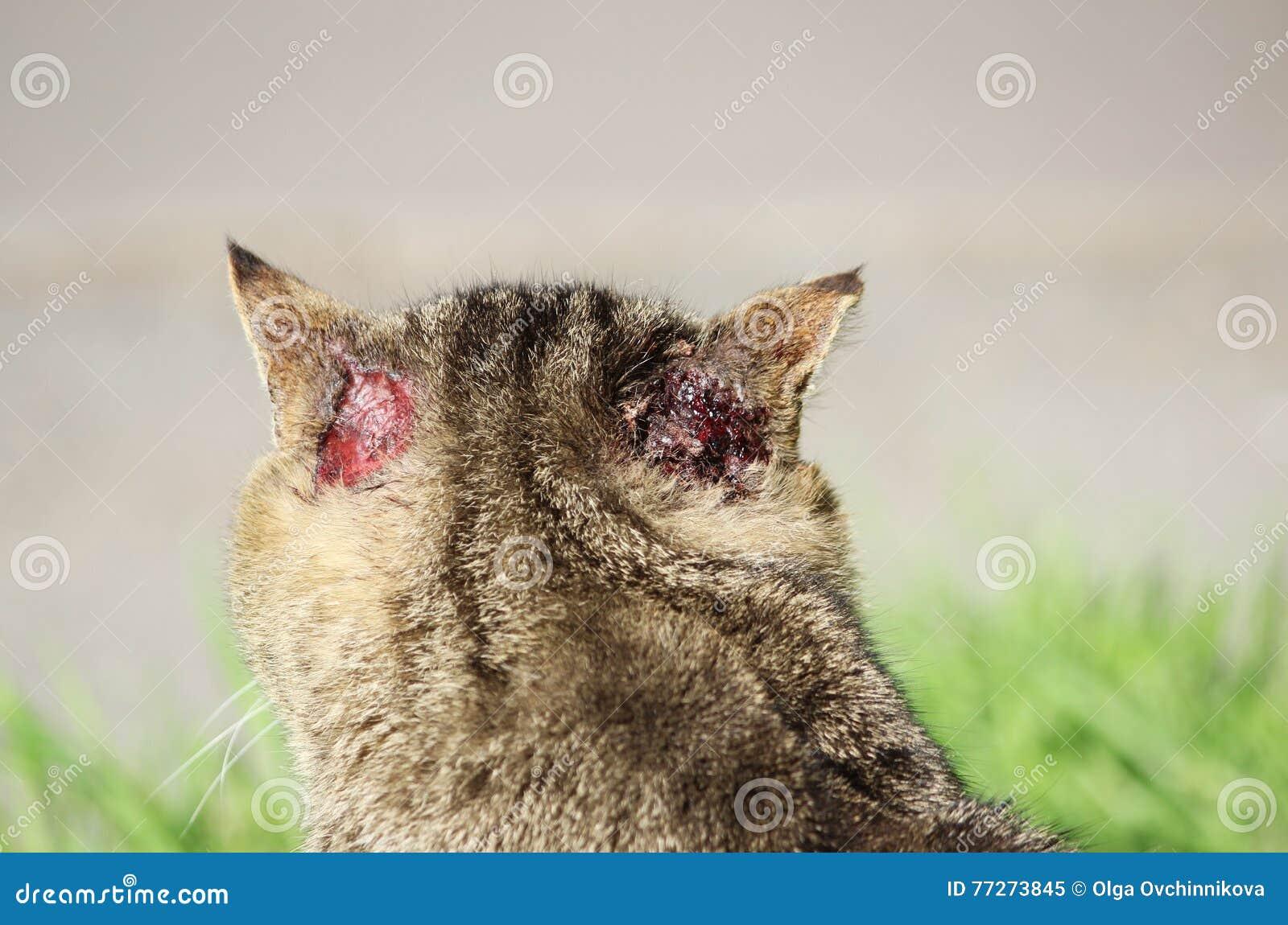 De vaste vorm gegeven dakloze kleur van het kattenriet met verwondingen aan oor en schurftotoacariasis het typische krassen achte