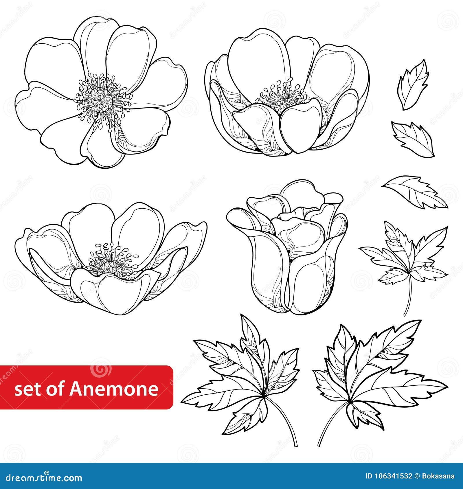 De vector met de bloem of Windflower van de overzichtsanemoon wordt, ontluikt en bladeren in zwarte op witte achtergrond wordt ge