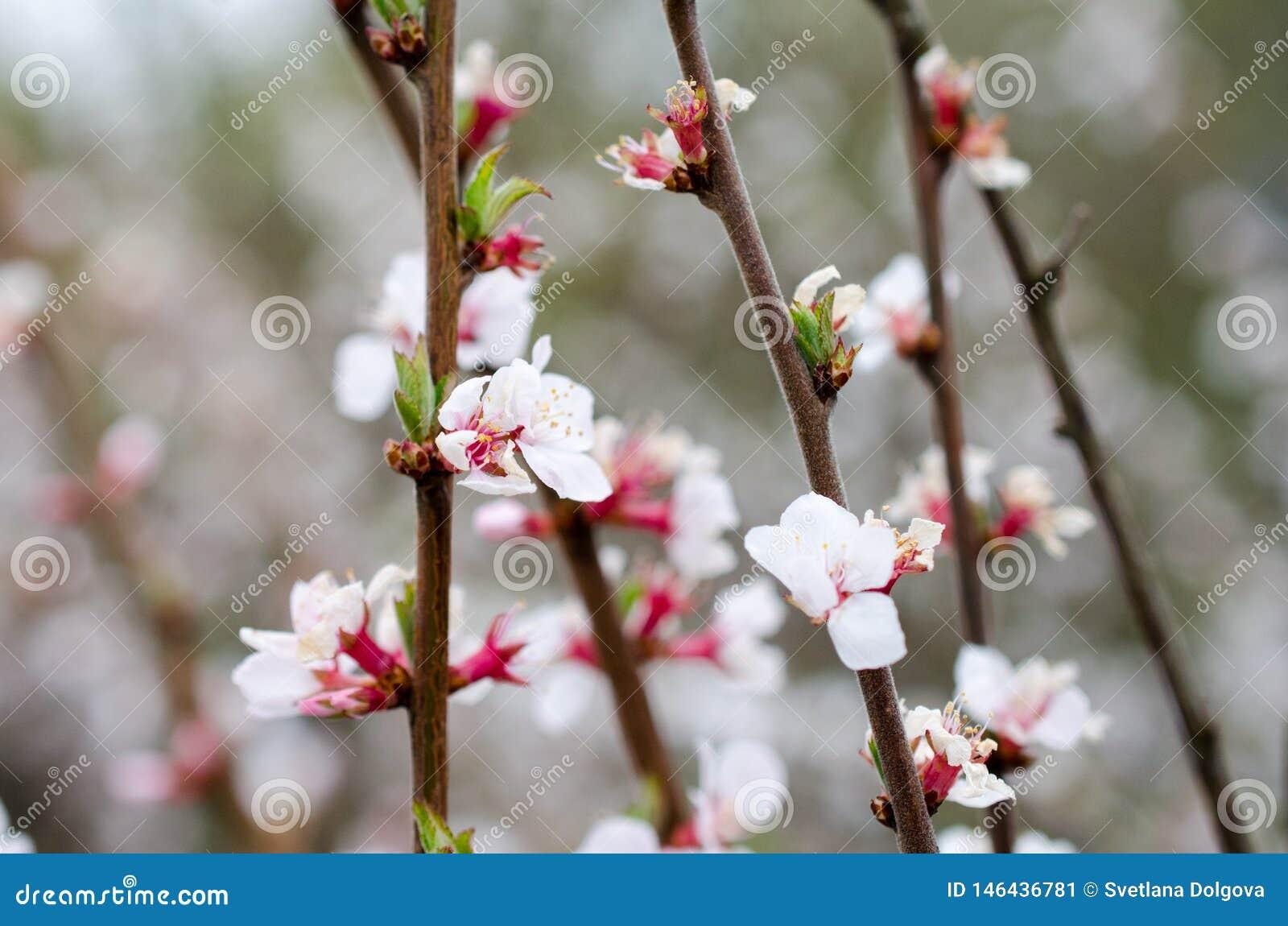 De veelvoudige witte kers bloeit close-up