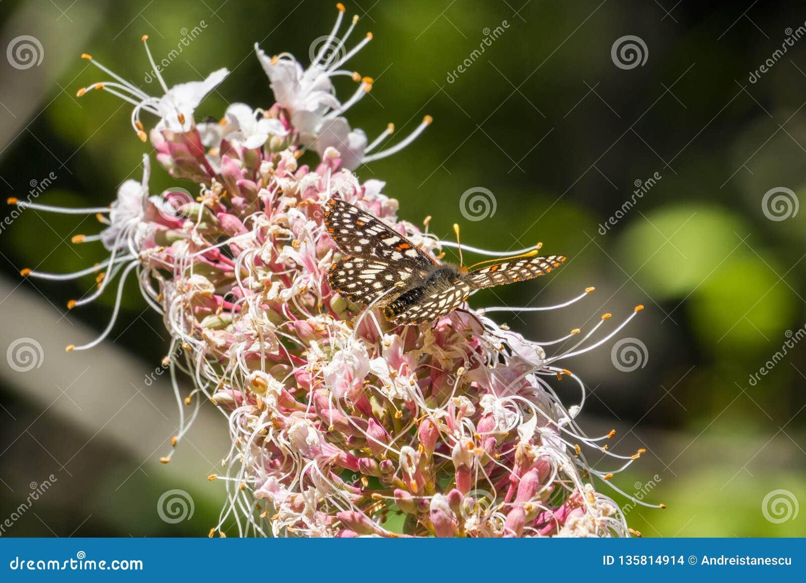 De veranderlijke chalcedona nippende nectar van Euphydryas van de checkerspotvlinder van Californiania buckeye bloeit Aesculus-ca