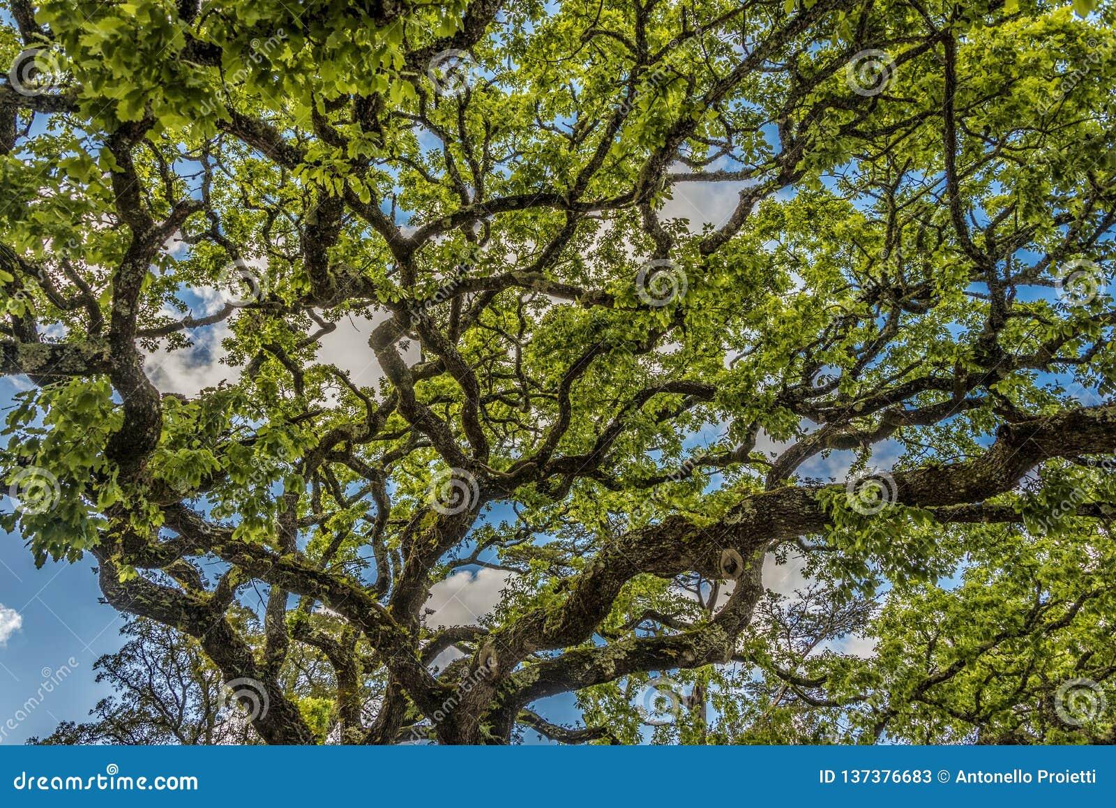 De verdraaide takken van een grote eiken boom in het Quinta de Regaleira-park