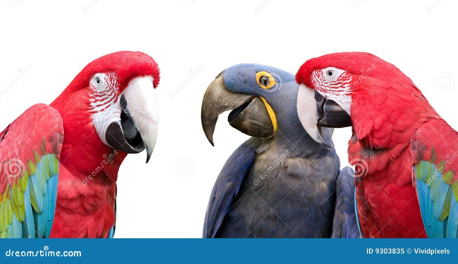 De vergadering van de papegaai