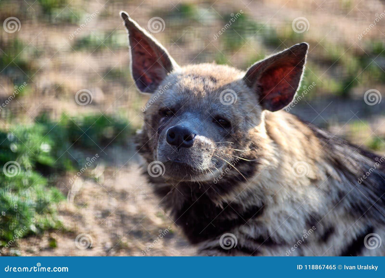 De vermoeide hyena onderzoekt de camera Fotoportret van een wild dier