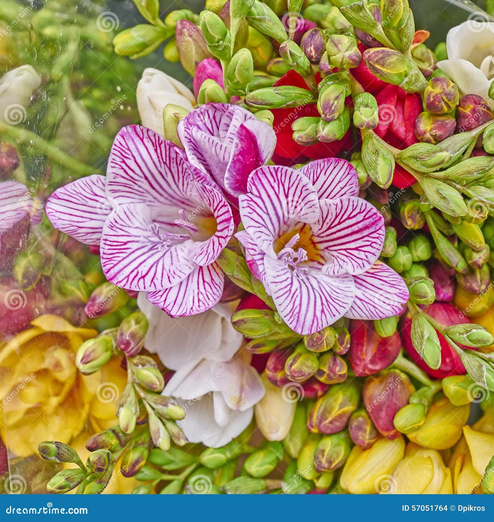 De verse close-up van fresiabloemen