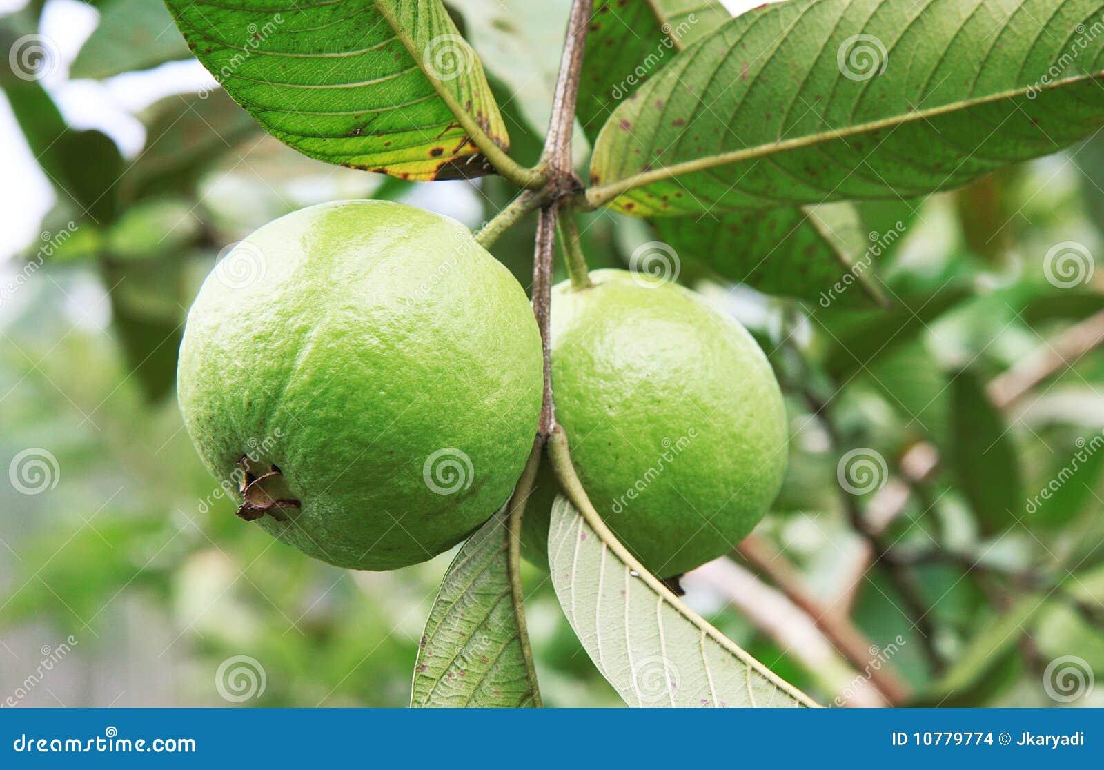 De verse Guave