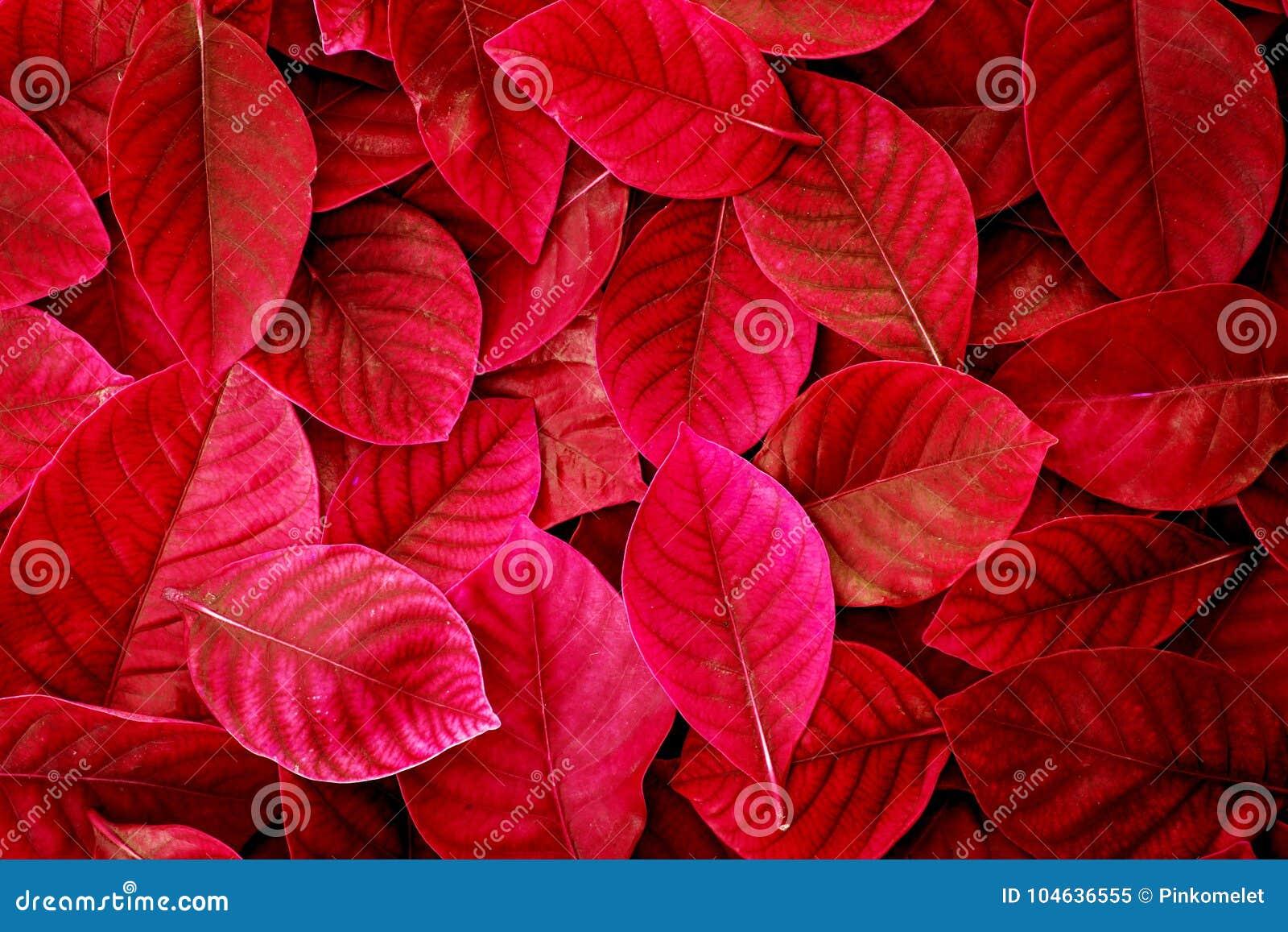 Download De Verse Tropische Rode Bladerenachtergrond Stock Afbeelding - Afbeelding bestaande uit naughty, helder: 104636555