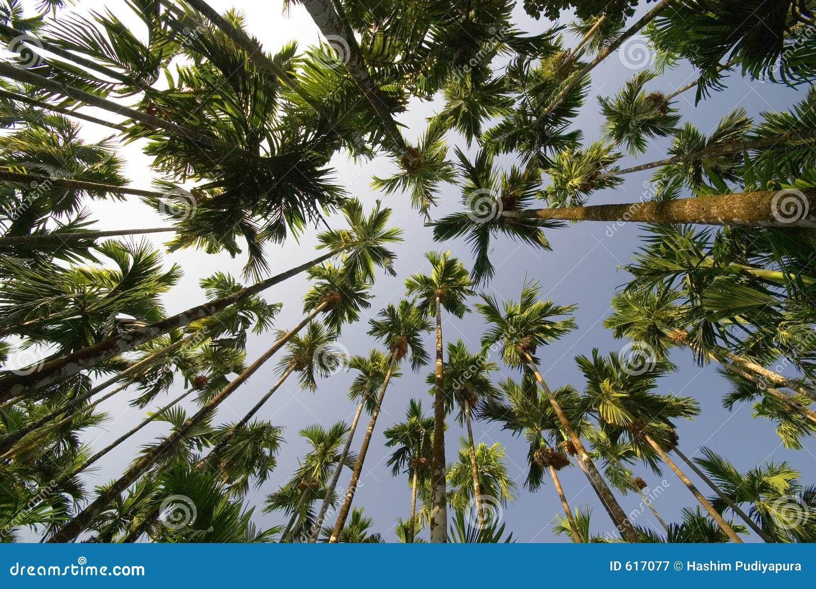 De verticaal van de palmensuperwide van de arekanoot