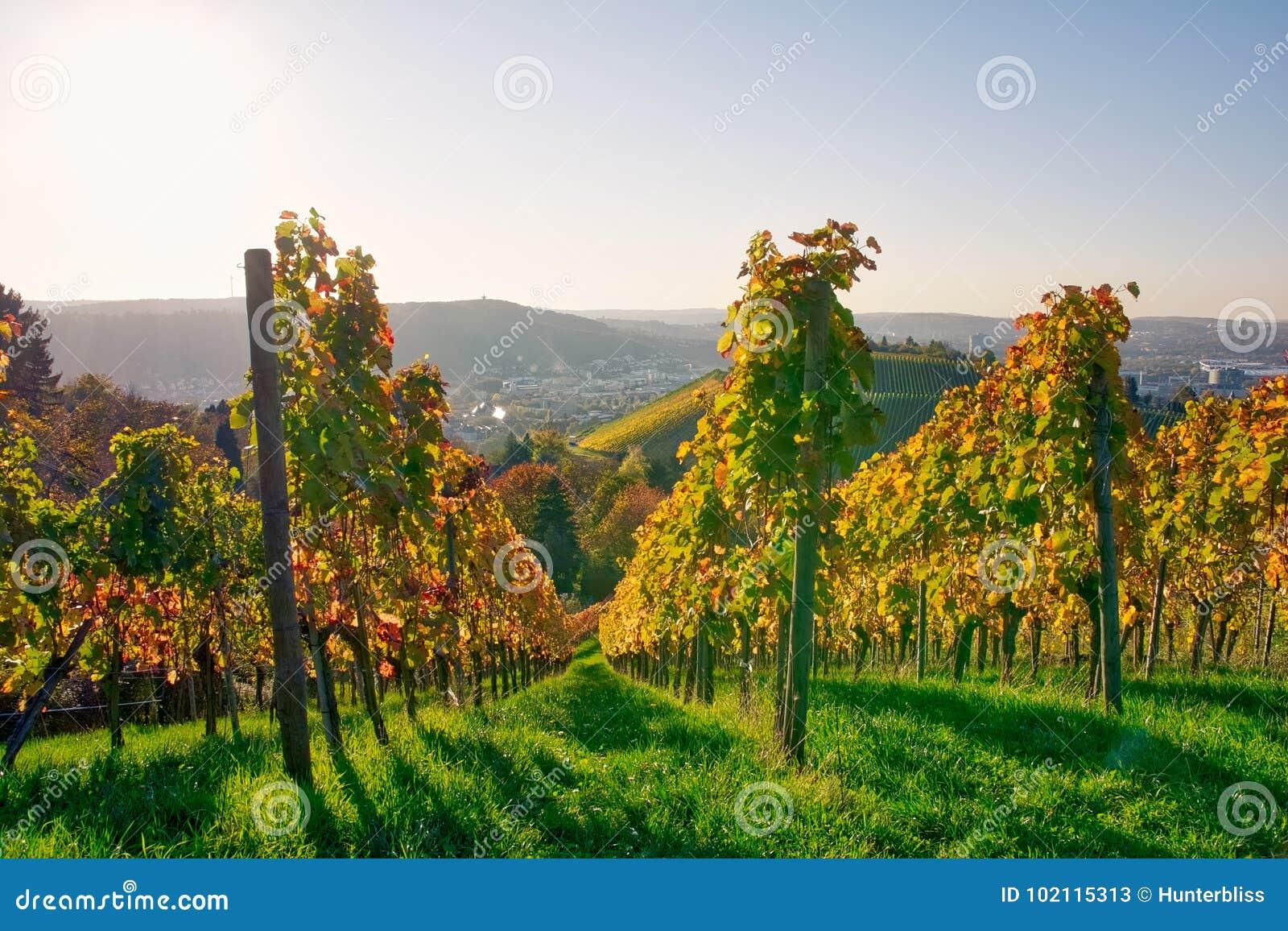 De vignoble de rangées de vin automne changeant d automne de saisons de journée dehors