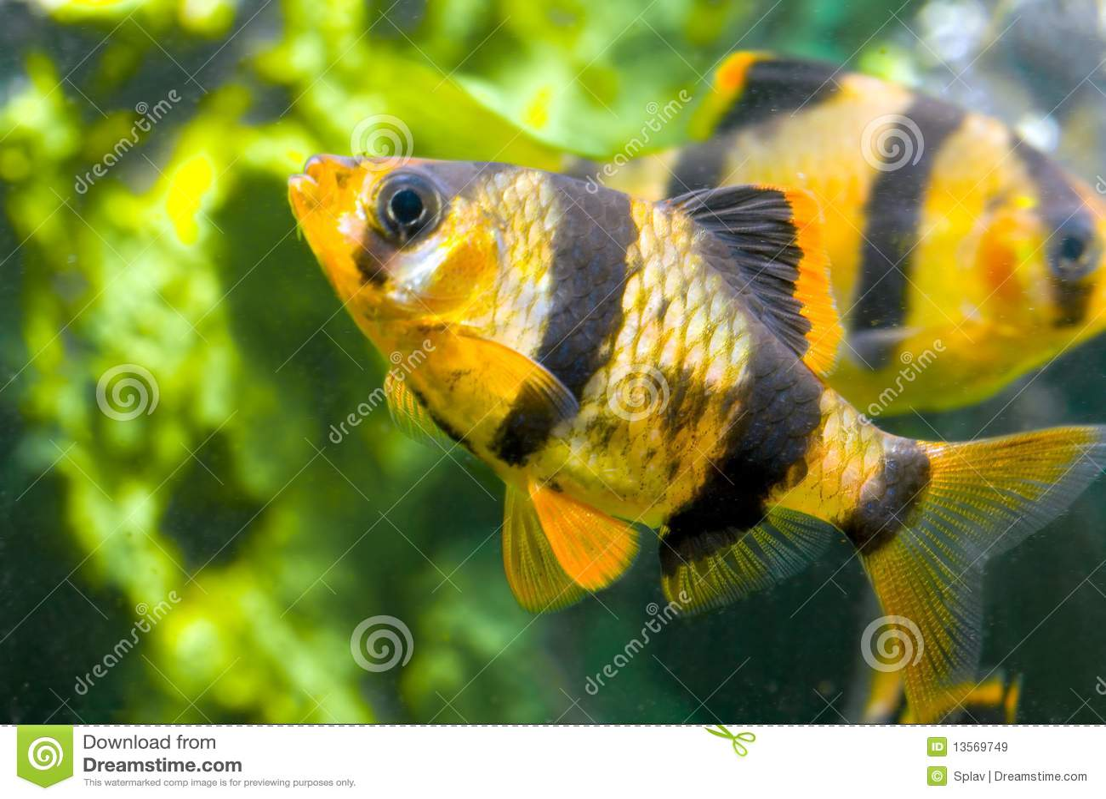 De Vissen Capoeta Tetrazona Van Het Aquarium Royalty vrije Stock Afbeeldingen   Afbeelding  13569749