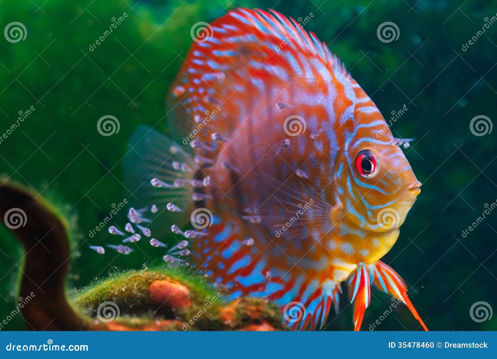 De vissen die van de babydiscus in zoetwater zwemmen.