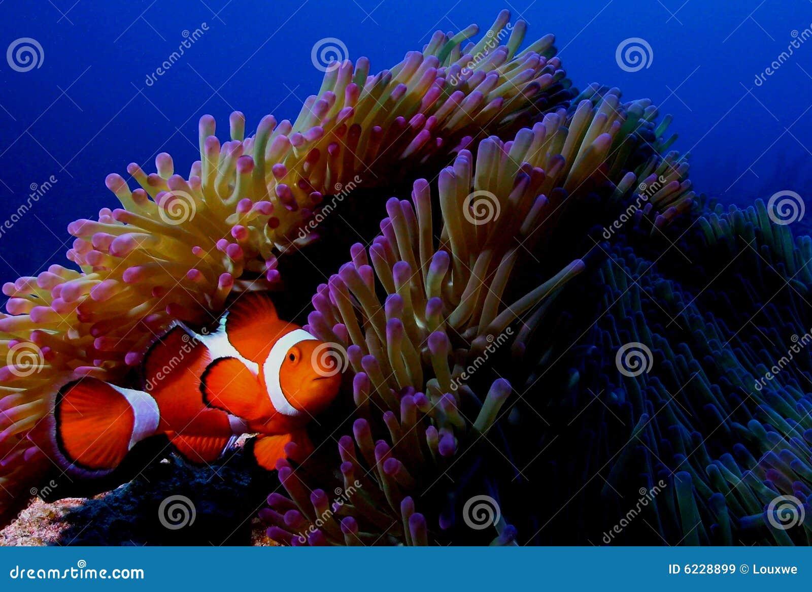 De vissen van de clown