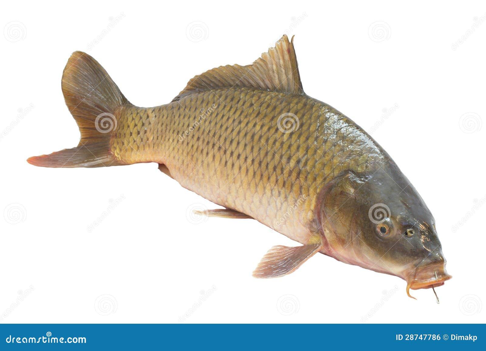 De vissen van de karper
