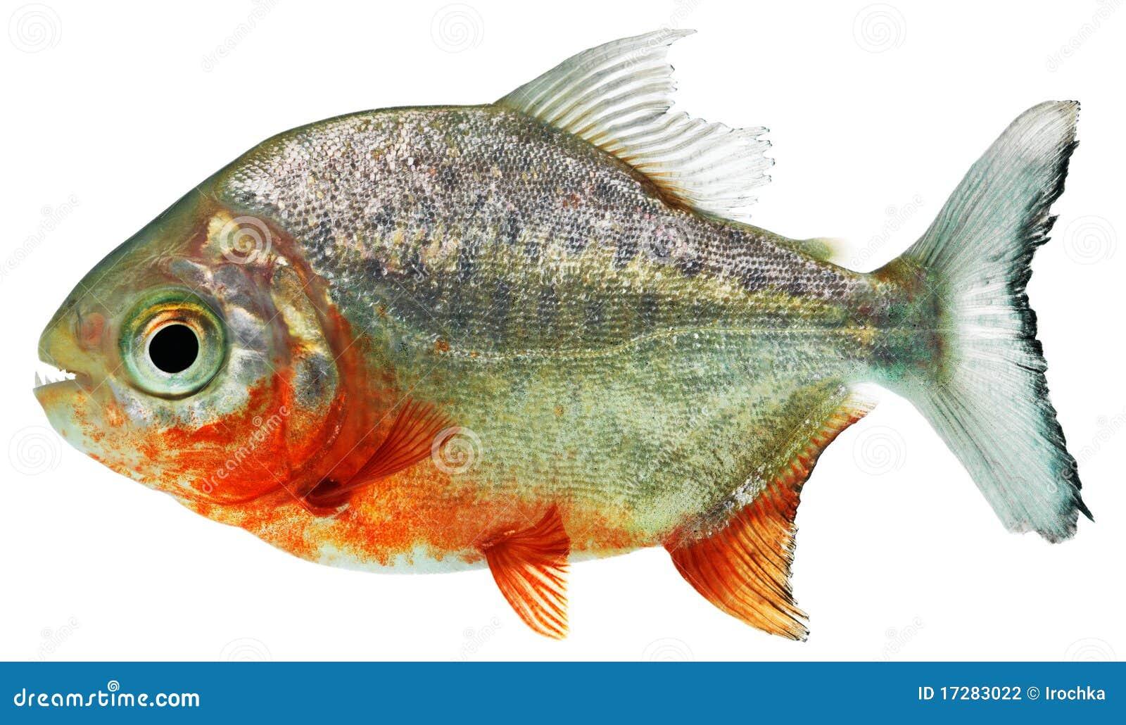 De vissen van de piranha
