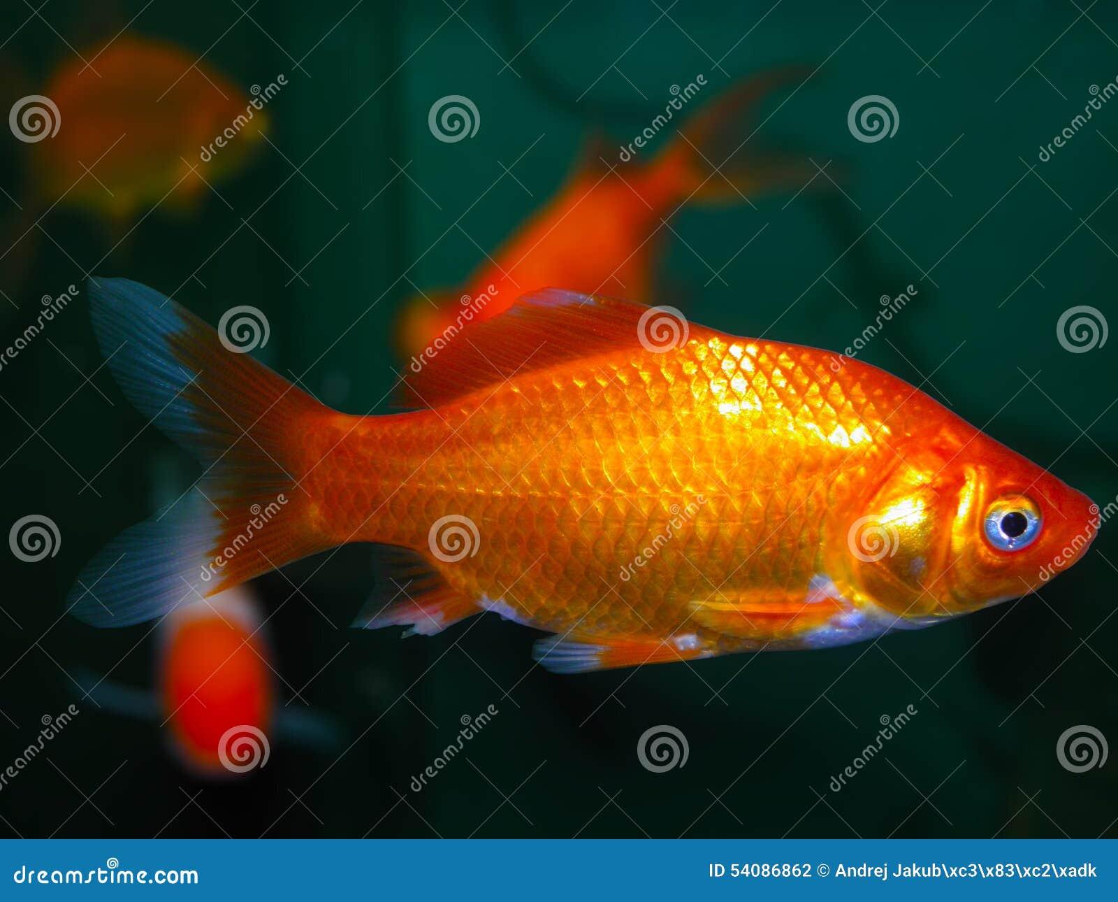 De vissen van het aquarium