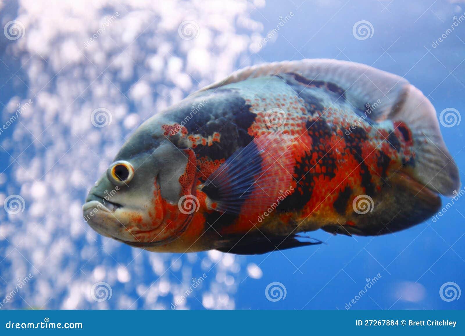Watch additionally Quegli Animali Troppo Brutti Essere Amati Dalluomo 945915 additionally Der Teutsche Wallfisch Und Sein Scheussliches Maul furthermore Index2 as well 8340779732. on huge oscar fish