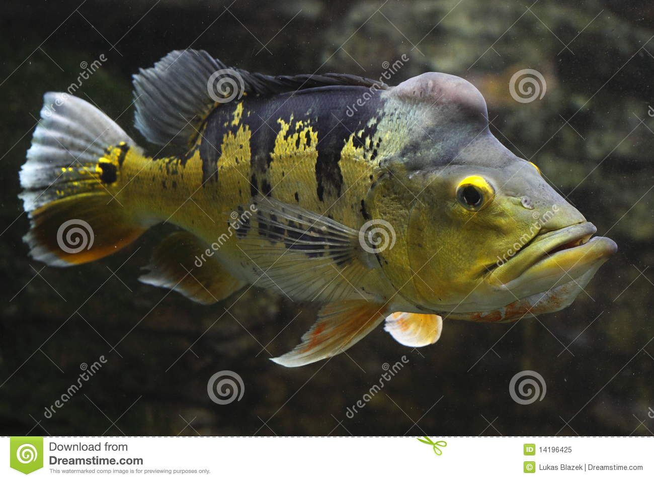 Sharks moreover Oscar Fish Tank Size together with T2639 Gourami Perl in addition Things not to do moreover Bald Parrot. on oscar fish in the wild