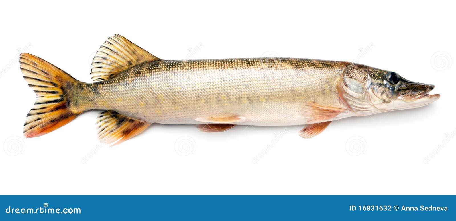 De vissen van snoeken