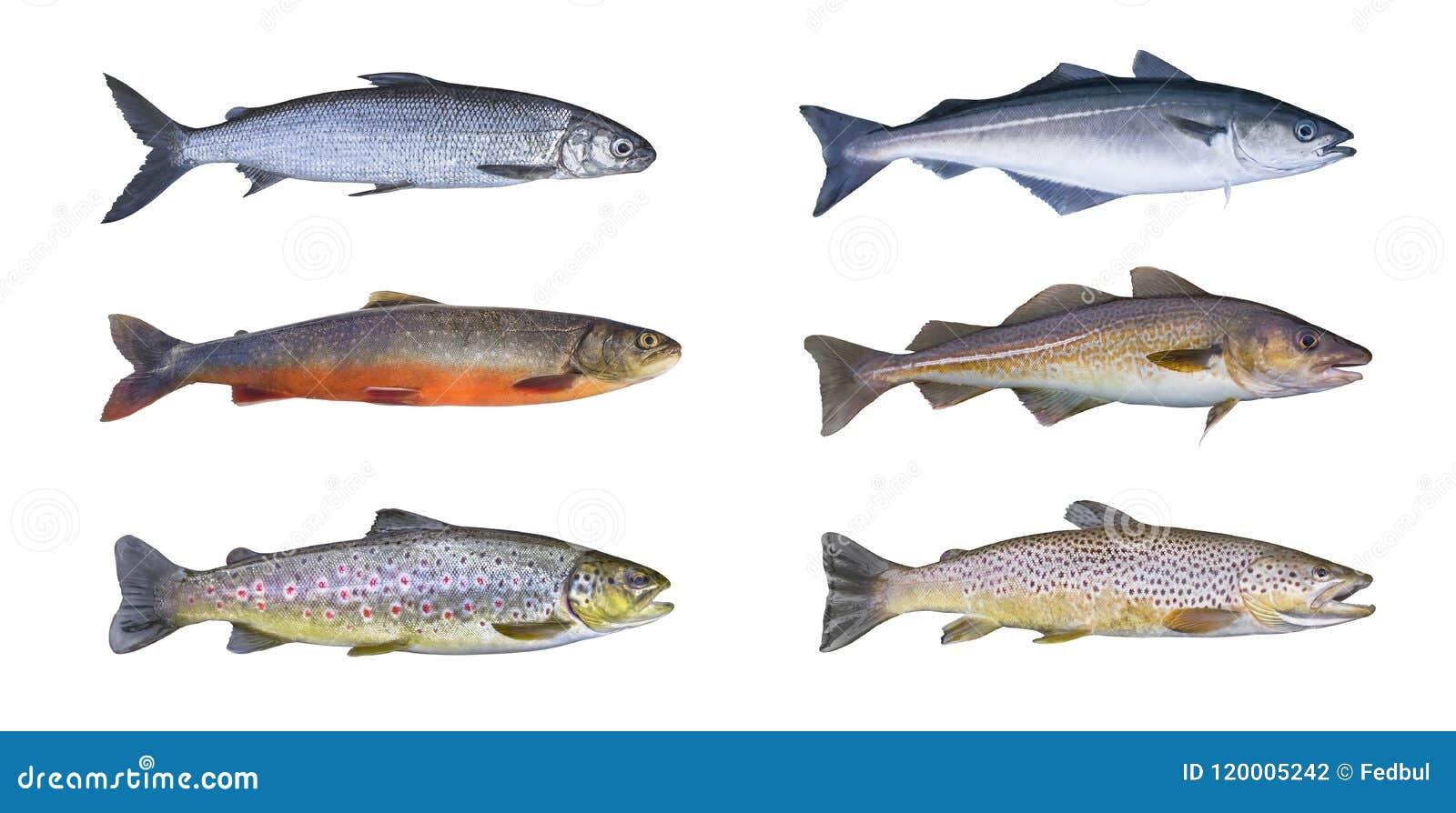 De vissenreeks van Noorwegen De witte vis, noordpoolklusje, beek bruine forel, pollock vist, koolvissen, koolvissen, kabeljauwvis