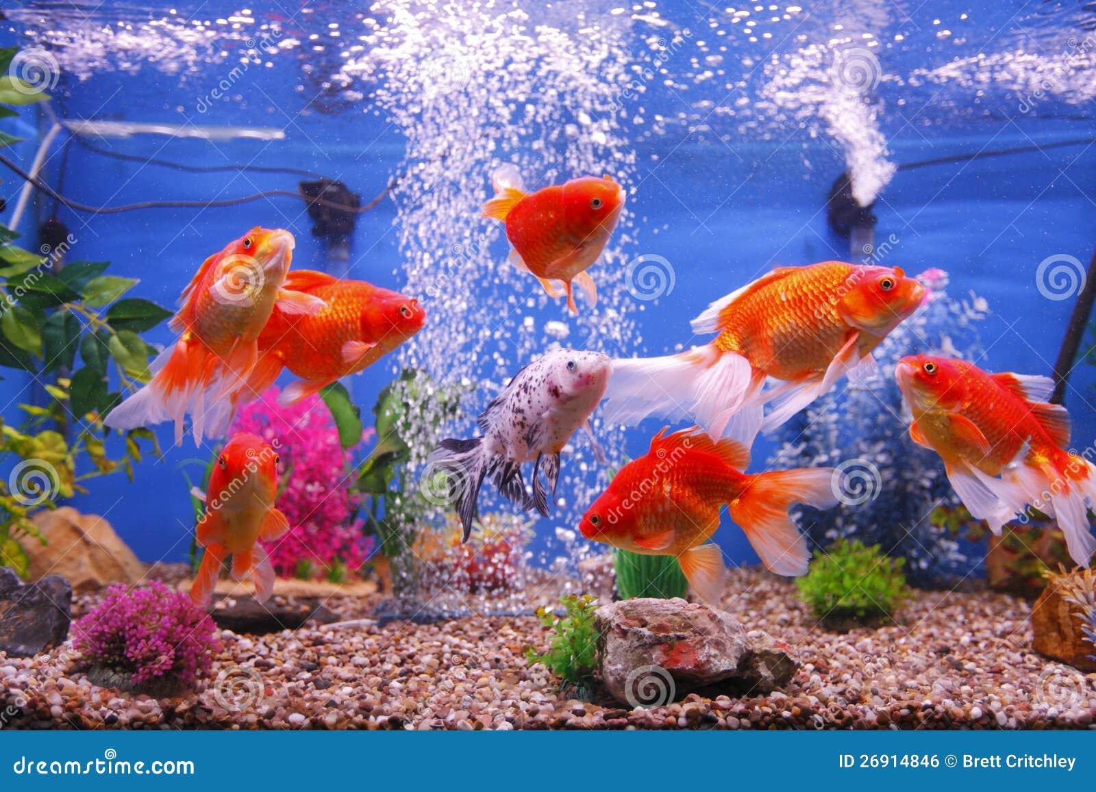 De vissentank van de goudvis