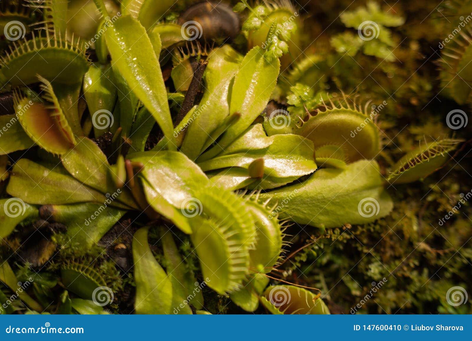 De vleesetende Venus Fly Traps Dionaea-muscipula en van Zonnedauwendrosera capensis Installaties scheiden spijsverteringsenzymen