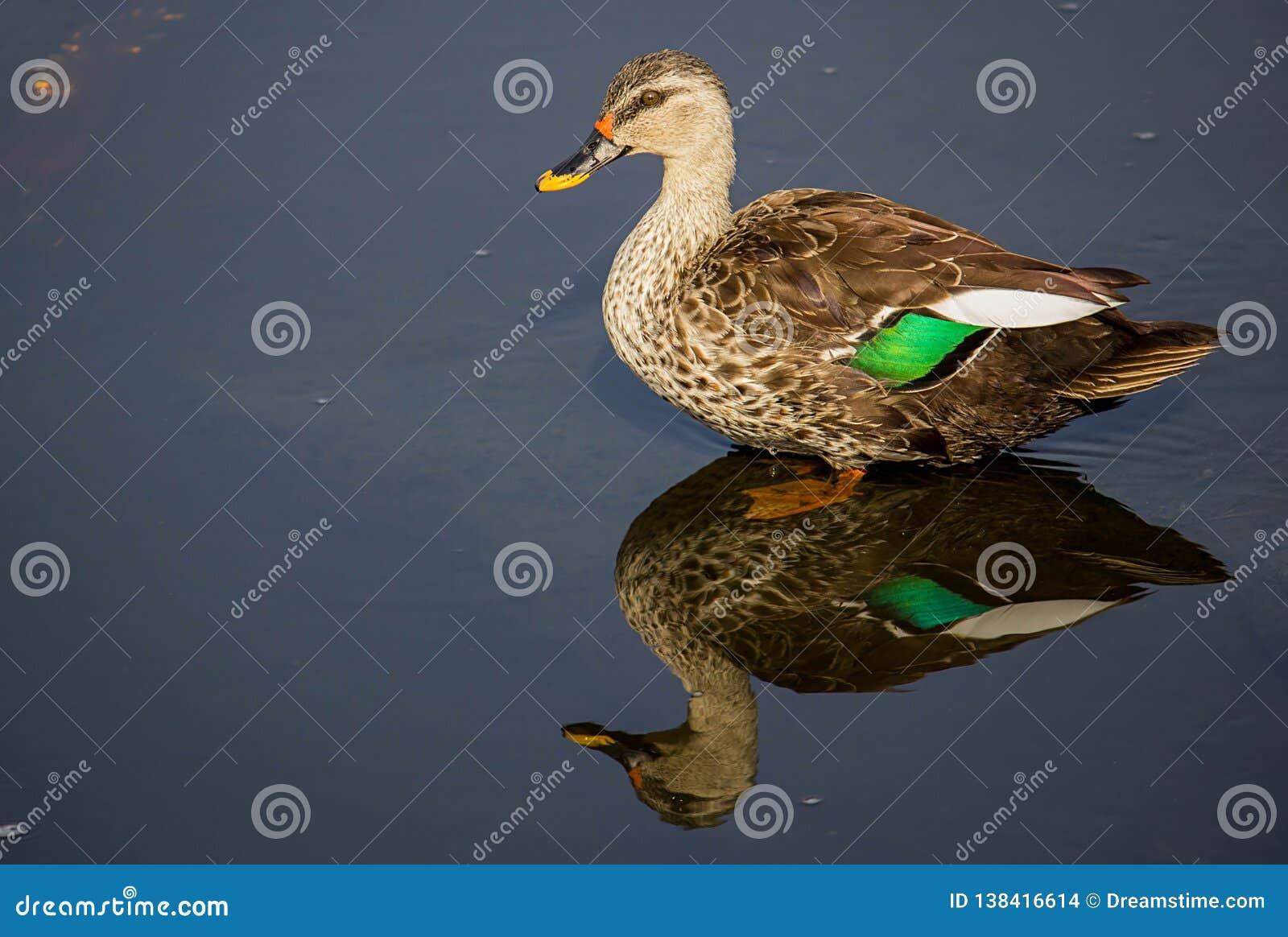 De vlek factureerde eend in een water bij meer, mooie spiegelbezinning van steltvogel
