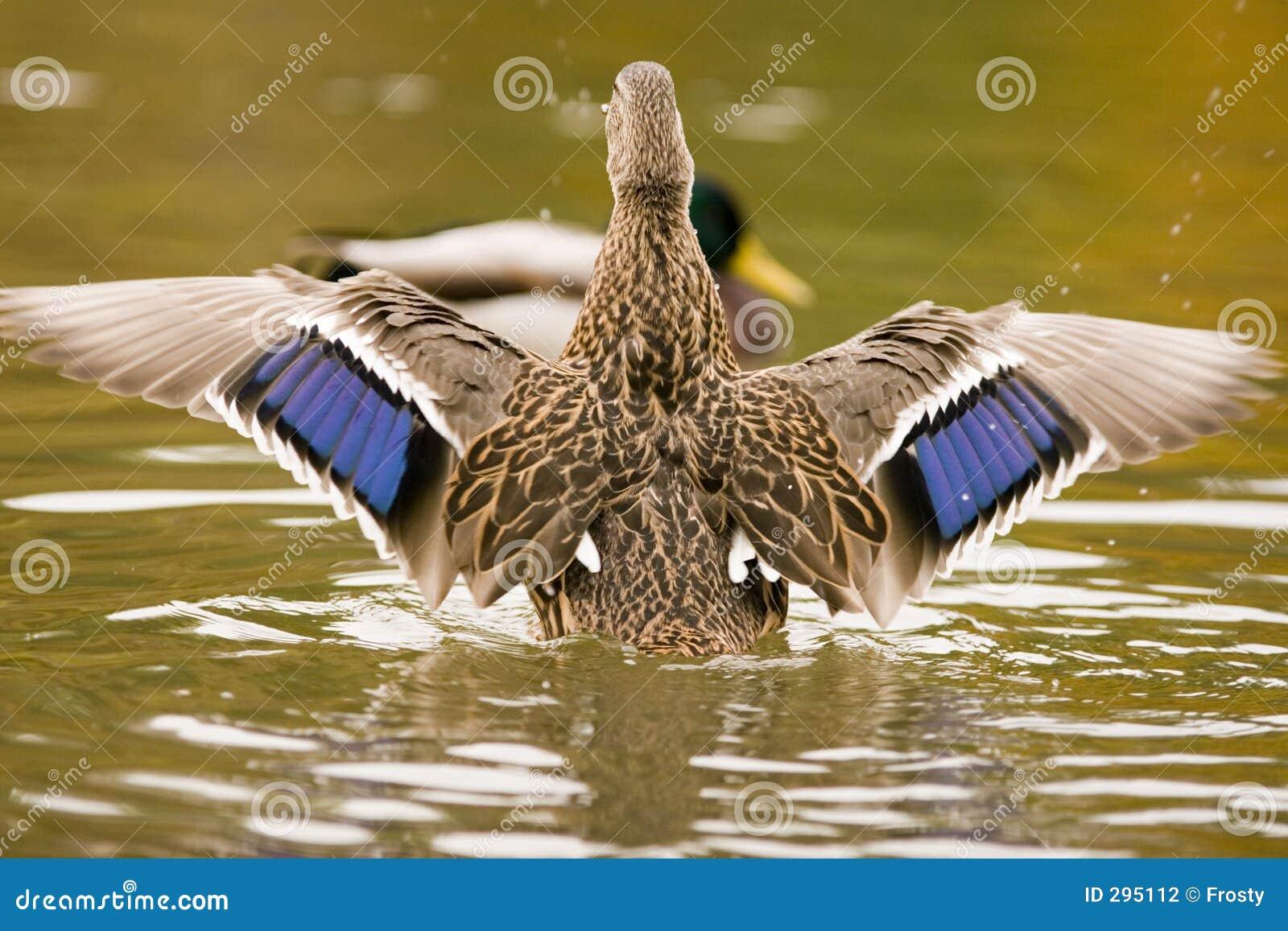 De vleugels van de eend