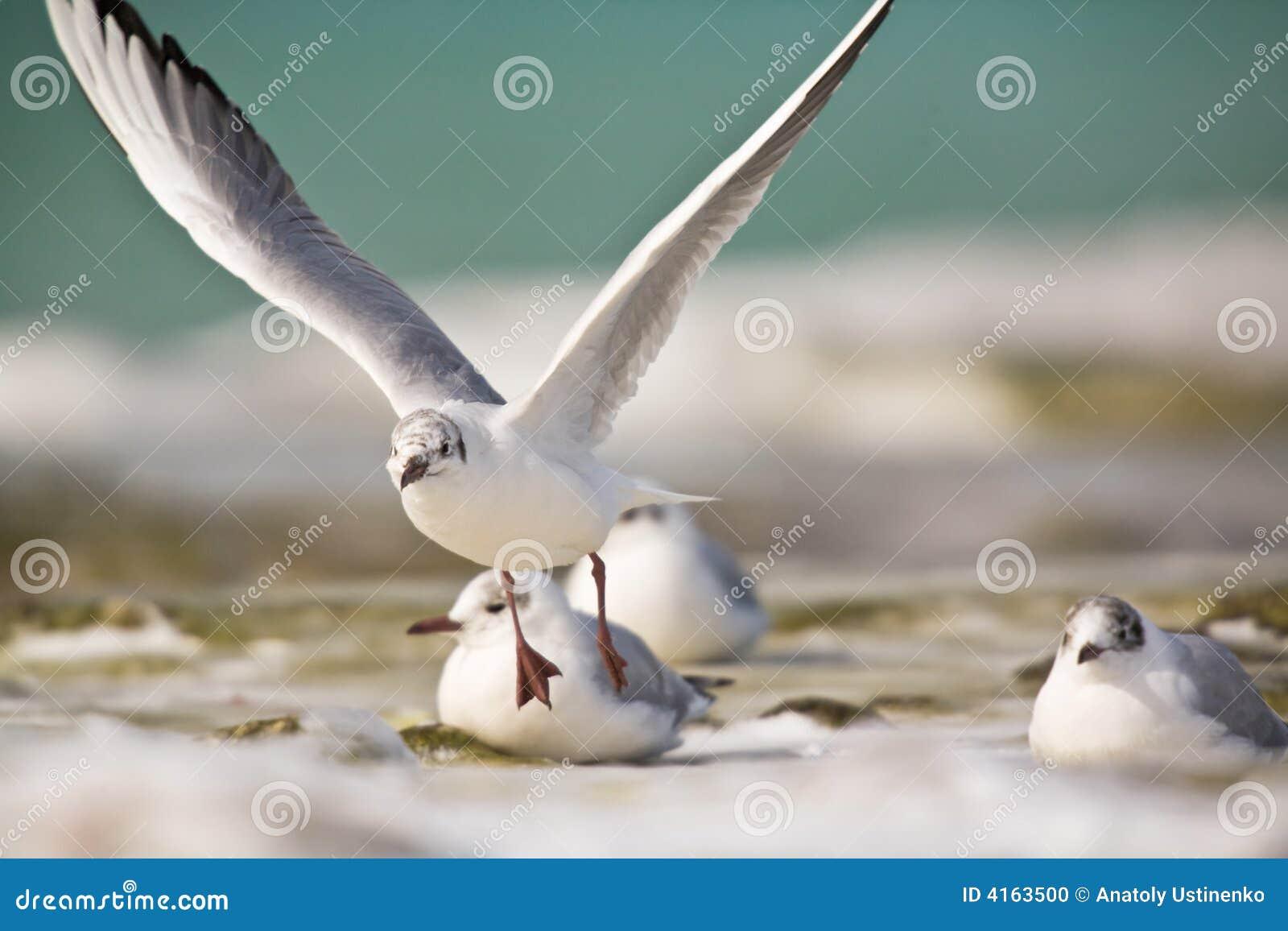 De vlieg van zeemeeuwen