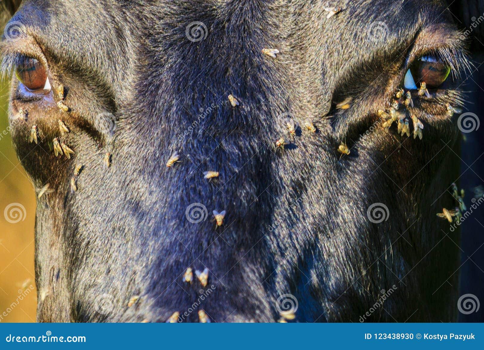De vliegen kruipen in het oog aan de koeien in de de zomerhitte