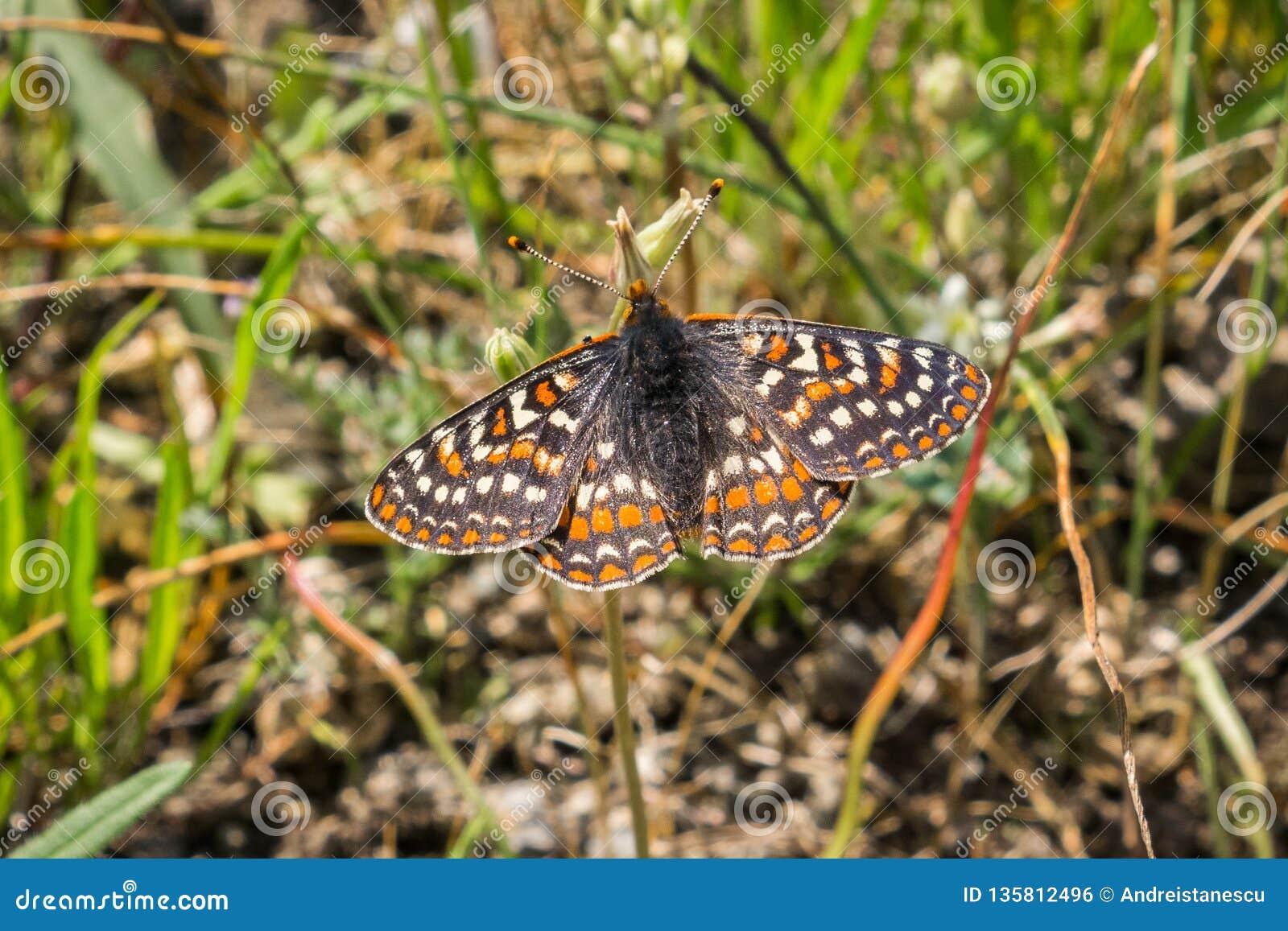 De vlinder die van baaicheckerspot (bayensis van Euphydryas Editha) in het gras rusten; geclassificeerd als federaal bedreigde sp