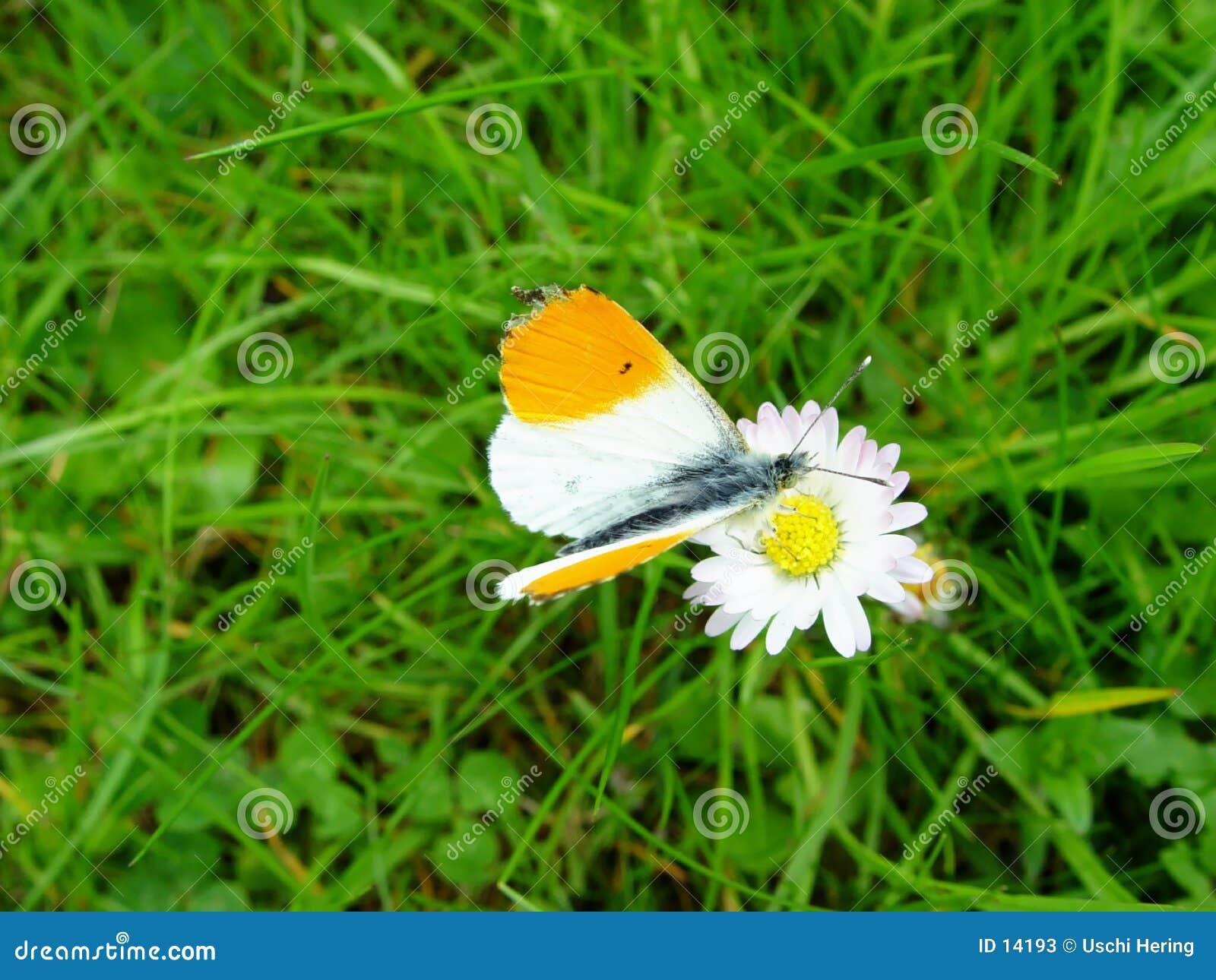 De vlinder gaat madeliefje