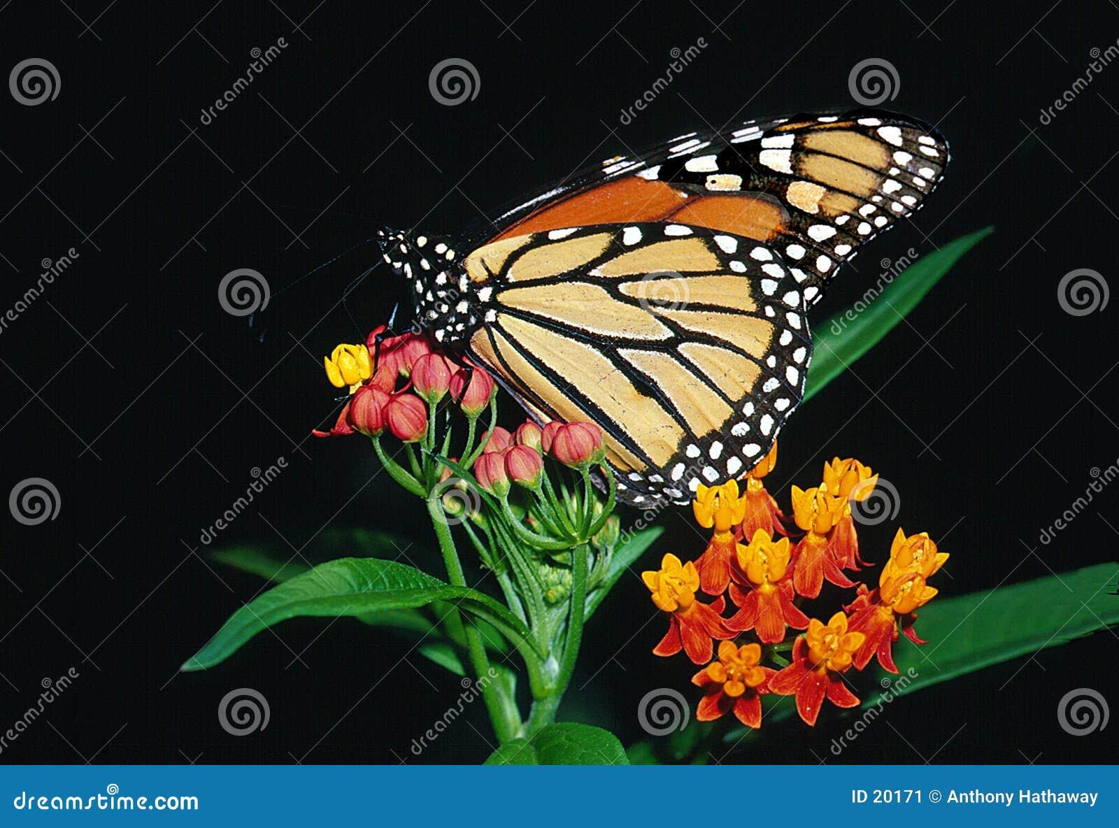 De Vlinder van de monarch op Bloodflower